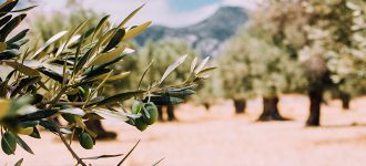 The Sacred Olive Trees of Crete
